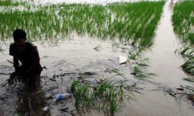 Tanggul Kali Kresek Jebol, Puluhan Hektare Sawah Terendam